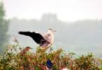 回家庄鹭园迎来新住客 目前该鹭园已有七种鹭鸟
