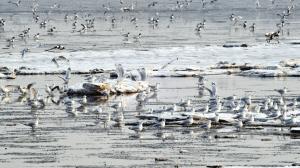 3000只遗鸥生态城越冬 约占该物种总数四分之一